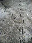 Some Goose Tracks