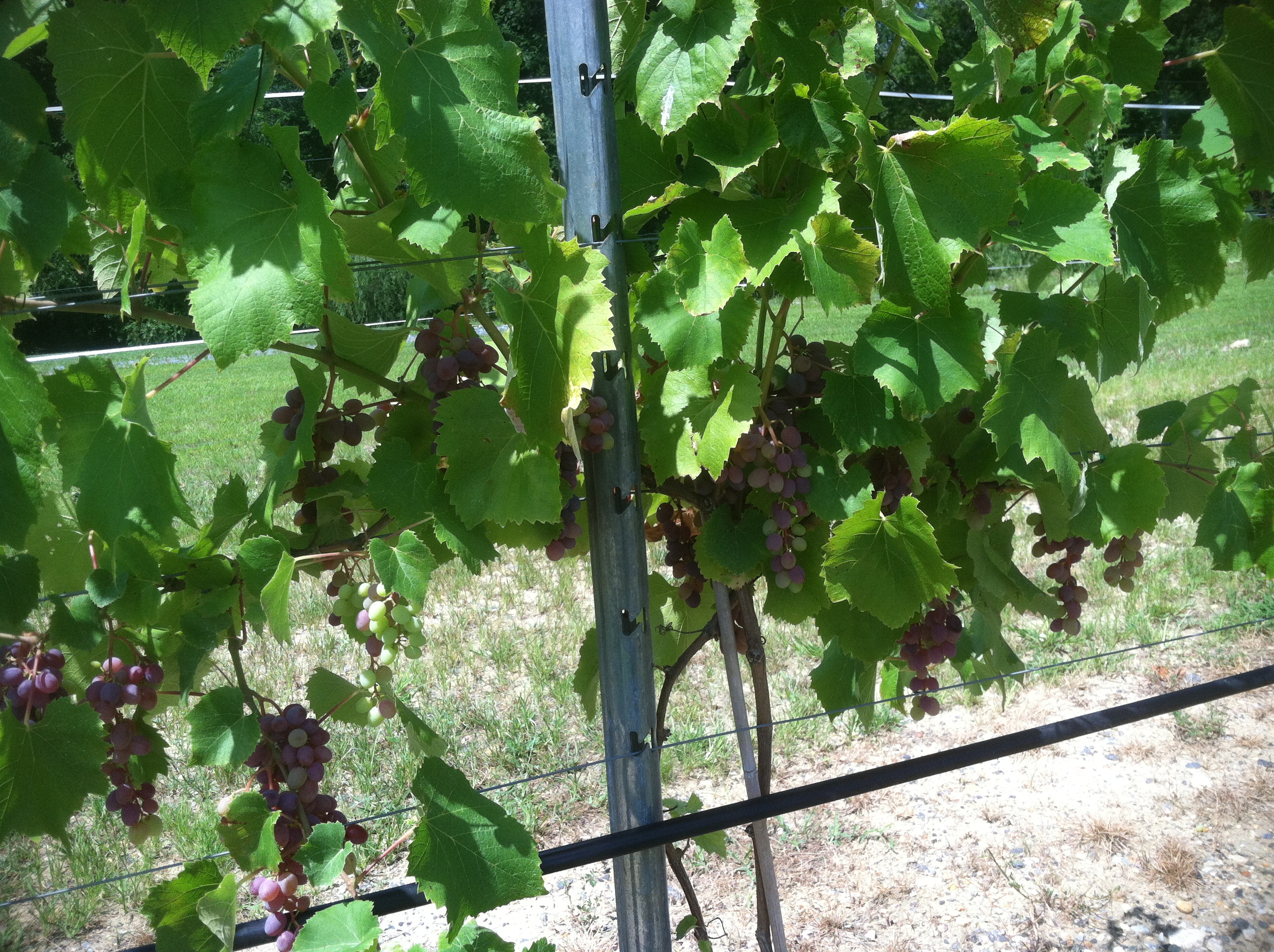 Raisins raccoon creek vineyard for Table grapes