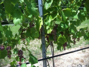 Mars Table Grapes