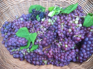 Table grapes culled