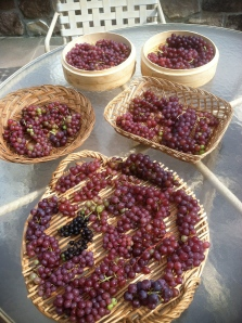 Drying Table Grapes