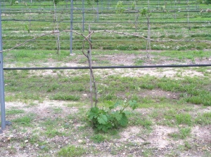 Dead cordon vines with new shoots